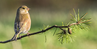 Greenfinch ~ Explored