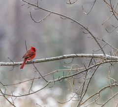 Cardinal (Mike Matney Photography) Tags: november snow bird birds canon illinois midwest edwardsville 2014 eos7d watershednaturecenter