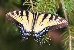 eastern tiger swallowtail at Lake Meyer Park IA 854A3288 (lreis_naturalist) Tags: eastern tiger swallowtail butterfly lake meyer park winneshiek county iowa larry reis