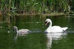 IMGP3150 Mute Swan & cygnet, Wicken Fen, July 2016 (bobchappell55) Tags: wickenfen nationaltrust naturereserve wildlife wild bird muteswan cygnet