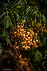 Berries (Askjell's Photo) Tags: aegeansea greece hellas rhodes rhodos rodos berries fruit plant