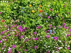 Blumenwiese  am  Oberrieder Weiher  in Bayerisch Schwaben (warata) Tags: 2016 deutschland germany sddeutschland southerngermany schwaben swabia oberschwaben upperswabia schwbischesoberland bayern bayerischschwaben gnz fluss river landschaft landscape baggersee lake see oberriederweiher oberried blumenwiese wildpflanze bltter pflanze blume blte flower fleur multicoloredflowers