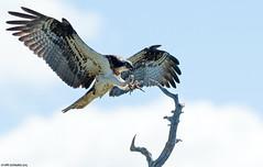 Sääksi (mattisj) Tags: birds suomi aves osprey pandionhaliaetus eläimet fåglar linnut accipitriformes sääksi keminmaa fiskgjuse pandionidae lapinlääni päiväpetolinnut lapinmaakunta kemi–tornionseutu sääkset