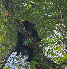 Hanging Out (coollessons2004(almost completely off)) Tags: blackbear bear appalachianmountains appalachian appalachia smokies smokymountains nature