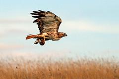 Red-tailed Hawk, with prey.  Lloydminster, Alberta.  August 2016. (Mike Borl) Tags: hawk raptor redtail bird birding falconry predator alberta