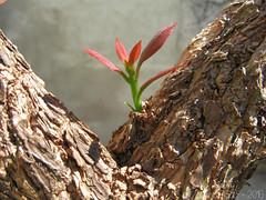 Primavera (Bougainvillea glabra), brotando aps a poda. (marianaplautz) Tags: bougainvillea glabra primavera trepadeira flor flower