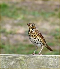 Song Thrush (Doe15) Tags: scilly thrush british birds