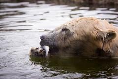 Polar bear with a fish (Cloudtail the Snow Leopard) Tags: eisbr zoo karlsruhe tier animal mammal sugetier polar bear br ursus maritimus wasser water eat fish