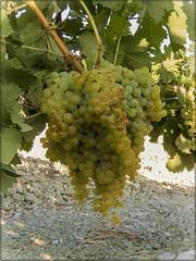 RACIMO DE UVA PALOMINO (BLAMANTI) Tags: uvas viñas viñedos vendimia viticultura