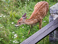 Stop and smell the flowers (Ed Rosack) Tags: flower fence usa shenandoahnationalpark grass virginia edrosack mammal deer