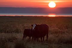 Breakfast (jarnasen) Tags: nikon d810 telezoom cows cow morning early sunrise dan sun field pasture glow calves stergtland sttuna sweden sverige landscape nordiclandscape landskap kor ko copyright jrnsen jarnasen scandinavia nikon70300 70300