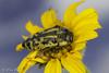 Acmaeodera amplicollis (aliceinwl1) Tags: az acmaeodera acmaeoderaamplicollis acmaeoderini arizona arizona2016 arthropod arthropoda buprestidae buprestoidea cochisecounty coleoptera coppercanyon insect insecta metallicwoodboringbeetle montezumacanyonroad polycestinae polyphaga serieselateriformia amplicollis beetle locpublic viseveryone
