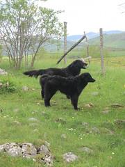 Twin black watchdogs at Vidikovac, Uvac Nature Reserve, Serbia (Paul McClure DC) Tags: uvac naturereserve serbia srbija zlatibor druinie vidikovac sjenica balkans may2016 animals dog scenery