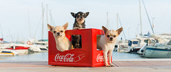 three bottles (StoryofLove Chihuahuas) Tags: chihuahua cachorro chihuahuas cute cool cahorrito barcelona beach domestic port perrito perro coca cola puerto pet pets summer puppi puppie pupie puppy animal animals
