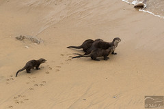 River Otter family (Corvus707) Tags: wildlife animals wildlifephotography california marin norcal northerncalifornia bayarea northbay pore pointreyes pointreyesnationalseashore findyourpark nps nationalpark nature outdoors ocean beach adventure travel hike mammals mammal river otter riverotter