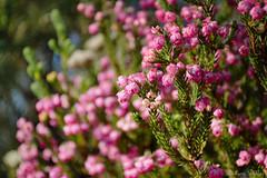 Erica sp with tiny pink flowers (Sumarie Slabber) Tags: heide erica tablemountainnationalpark southafrica sumarieslabber nature nikon flowers botanical plants pink pinkerica capefloristicregion