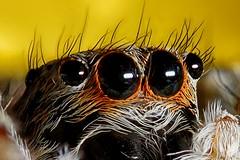Spider eyes - Detail (Silvans Cat) Tags: jumpingspider jumping jump spiders spider ragni ragno salticidae macro micro 105mmmacro 35mmreverse reverse 7x focusstacking hdr d7200 nikond7200 nikon