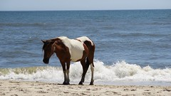 Assateague Island National Seashore Camping Vacation 2016 - Horses on the Beach (Mrs. Gemstone) Tags: assateague island national seashore camping vacation beach wildlife wild wildhorses horse