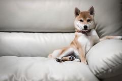 Yotsuba365 Day83 (Tetsuo41) Tags: dog shibainu yotsuba