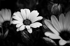 (jean_pichot1) Tags: bloom bw close contrast dark white petals flowers