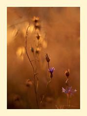 Chabry (smoothna) Tags: chaber cornflower summer sunset nature bokeh warm poland d90 smoothna hot field