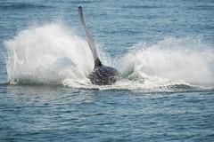UNK.MN.CRESLI.2016-08-28-03 (ah_kopelman) Tags: unkmncresli2016082803 cresli megapteranovaeangliae montaukny montaukwhalewatch2016 vikingfleet humpbackwhale exif:isospeed=400 geocountry exif:make=nikoncorporation geo:lon=71885166666667 geocity geostate exif:aperture=ƒ63 exif:focallength=400mm exif:model=nikond600 geo:lat=410117 geolocation camera:model=nikond600 camera:make=nikoncorporation