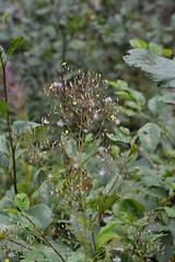 Mt Rainier Natl Park - Westside Road (jrozwado) Tags: northamerica usa washington mtrainier nationalpark westsideroad trail flower wildlflower