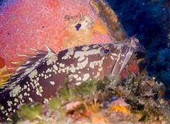 P9240167-2 (juredel) Tags: mrou juredel olympus corb oxygene plonge diving scull scubadiving scuba wallpaper la vacca lavacca cerbicales ilescerbicales
