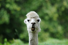 My selfies are getting worse... (Squatbetty) Tags: alpaca lakesdistillery cumbria bassenthwaite funny cute daft funnyface friendly wotyoulookingat