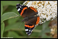 Red Admiral 31st Aug 2016 Woodbridge Suffolk (Ian Sharman 1963) Tags: red admiral 31st aug 2016 woodbridge suffolk british butterflies insect