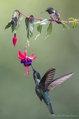 Patiently waiting for his turn (dennis.zaebst) Tags: bird hummingbird centralamerica costarica magnificent magnificenthummingbird 500 1dx naturethroughthelens naturescarousel ngc npc talamancacordileravolcanohummingbird volcanohummingbird