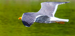 Sleek (Steve-h) Tags: nature natur natura naturaleza bird gull herringgull beak wings legs grey white dappled reflections orange red green water pond park bushypark dublin ireland europe sun sunlight sunshine spring may 2016 ef eos canon camera lens digital exposure steveh