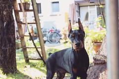 Iron. (RunawayElly) Tags: dobermann doberman iron 3months dog