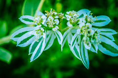 BlancoRiver_103 (allen ramlow) Tags: river flower bank nature sony a6300 summer flowers