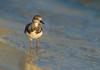 Morning Stroll (Happy Photographer) Tags: bird wildlife nature nikon200500f56 ruddyturnstone water gulfofmexico amyhudechek shorebird wader florida amyhudechekphotography