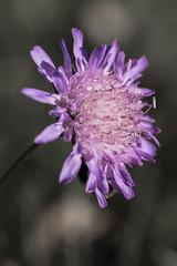 a purple flower (Mange J) Tags: karlstad magnusjakobsson pentax sverige sweden tamronspaf90mmf28 vrmland bokeh flower life lila summer gillalila vrmland vrmlandsln se bumblebee bee insect purple