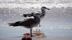 Meeting (AstridSusann) Tags: mwe meer andalusien ozean 2016 september meeting strand outdoor gulls