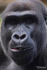 Western lowland gorilla (Marony Photography) Tags: gorilla animal ape animallover zoo ouwehands photography photographers photographer wildlifephotography wildlife nikon beautiful closeup holland netherlands rhenen wnf wwf