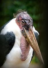 Smug Stork (SteveJM2009) Tags: marabou stork leptoptiloscrumenifer beak hair expression marwell wildlife hants hampshire uk september 2016 stevemaskell naturethroughthelens