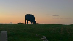 The Shy Silhouette.. (Michael C. Hall) Tags: ireland kerry sunset hill bullock bull grazing silhouette grass sky evening cow