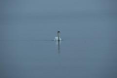 16_09_25_Herbst am Bodensee-10.jpg (werwen01) Tags: friedrichshafen herbst ereignisse schwan jahreszeit orte personen bodensee morgenstunde vögel ostufer