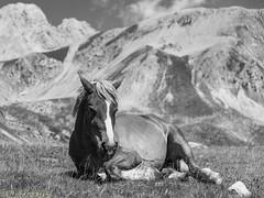 DSC_0201-2 (William Av.) Tags: cavallo hourse bw quiete quiet campoimperatore gransasso montagna mountain nikond750 wild animali animals biancoenero