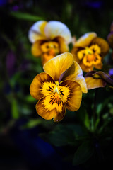 Yellow Pansies (gina.nicole.tesloff) Tags: yellow pansies flower blume blumen pattern grass plant plantlife blue wildlife enchanting efflorescence romantic texture underfoot outdoors orange open pretty petal purple perfect perspective pollen brown artistic summer spring sun detail delicate design depth green glow graceful grow growing gentle uk england light leaf life canon contrast colour colourful color countryside beautiful bright beauty nature natural macro