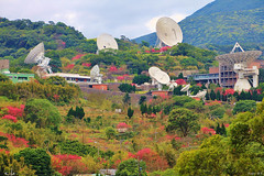 Cherry blossoms & satellite dishes (Singer ) Tags: red plant flower tree green composition canon taiwan singer sakura cherryblossoms taipei       satellitedishes                singer186