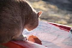 Im a thirsty ? (Steffi-Helene) Tags: sun water animals cat katze gegenlicht desanimaux contrelumire worldofanimals