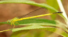 Damselfly (Ceriagrion melanurum) (John Horstman (itchydogimages, SINOBUG)) Tags: china macro yellow insect yunnan damselfly fbe odonata tumblr itchydogimages sinobug