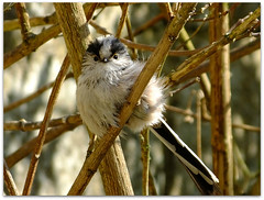 Feeling the cold! (macfudge1UK) Tags: uk england bird fauna spring bush europe branch wildlife perch oxfordshire avian oxon longtailedtit rspb 2013 allrightsreserved bbcspringwatch hs50 naturethroughthelens rspblovesnature fujihs50 fujihs50exr fujifilmfinepixhs50exr fujifilmhs50exr hs50exr