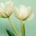 Vackra vita tulpaner