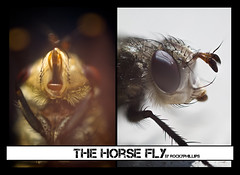 The Horse Fly.... (Rocky Phillips) Tags: hairy macro canon mouth bug insect outside fly spring eyes pretty small profile rocky tiny ugly horsefly lightroom extensiontubes 40mm28 canon7d rockyphillips