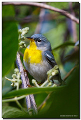 Northern Parula (Fraggle Red) Tags: tree bird female garden florida wildlife posing fairchild warbler coralgables butterflygarden fairchildtropicalbotanicgarden northernparula parula canonef70200mmf4lisusm newworldwarbler miamidadeco canoneos5dmarkiii 5d3 5diii setophagaamericana